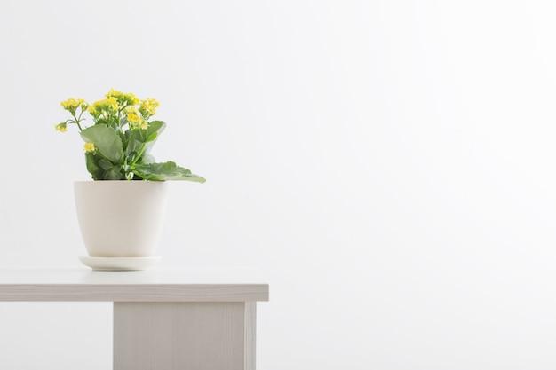 Kalanchoe giallo in vaso di fiori su sfondo bianco