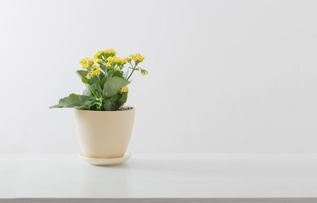 Kalanchoe giallo in vaso di fiori su superficie bianca
