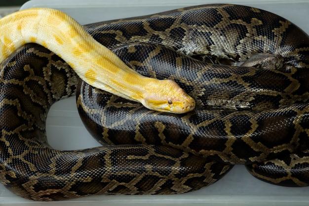 Pitone albino della tigre della lavanda gialla che riposa sul serpente del pitone reale nero