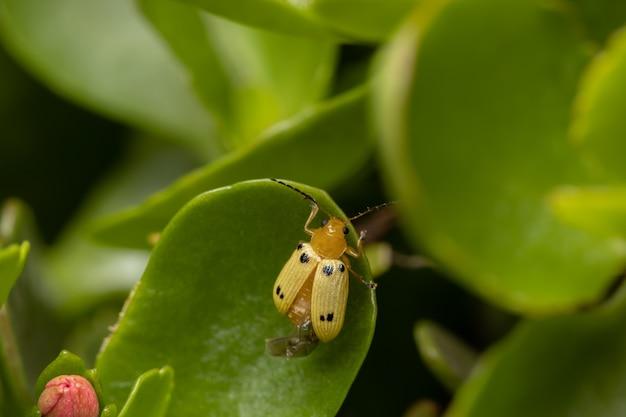 Scarabeo foglia giallo della specie metaxyonycha octosignata su una foglia