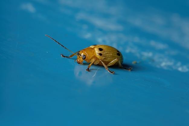 Coleottero foglia gialla della specie metaxyonycha octosignata