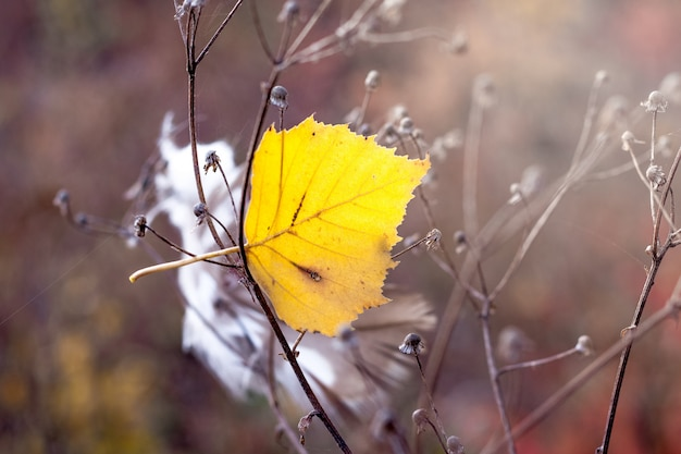 Foglia gialla di betulla tra steli di erba secca
