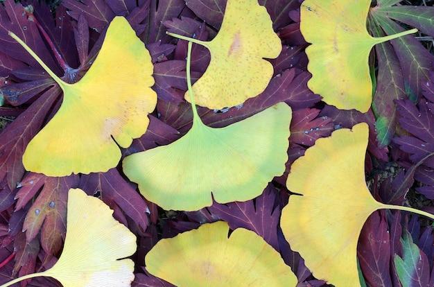 Foglie gialle di ginkgo biloba cadute in autunno