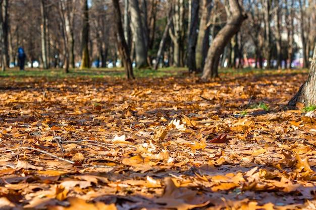 Foglie gialle giacciono a terra nel parco in una giornata autunnale