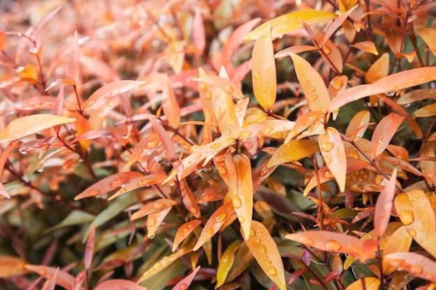 Foglie gialle texture di sfondo con acqua piovana scende foglie di autunno