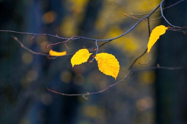 Foglie gialle su un ramo di un albero nella foresta su uno sfondo scuro