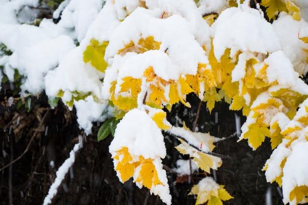 Foglie gialle e neve bianca, albero autunnale