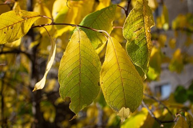 Foglie gialle autunno giallo. foglie d'autunno alberi gialli.