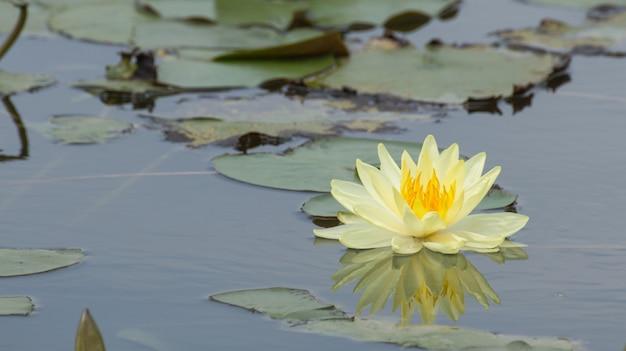 Fiori di loto gialli o fiori di ninfea che sbocciano sullo stagno