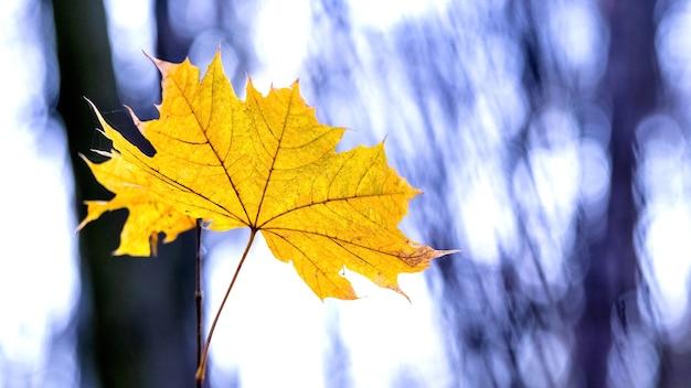 Foglia d'acero gialla nella foresta