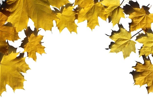 Foglie di acero gialle in una cornice su bianco, vista dall'alto