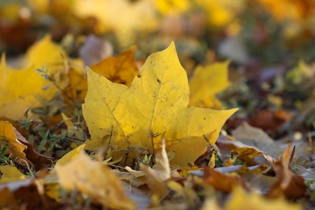 Foglie di acero gialle con un fuoco selettivo sul terreno in un giardino autunnale