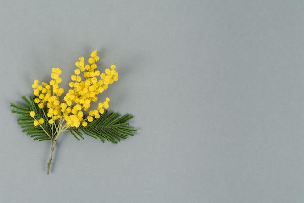 Fiori di mimosa gialli su sfondo grigio. vista dall'alto. copia spazio.