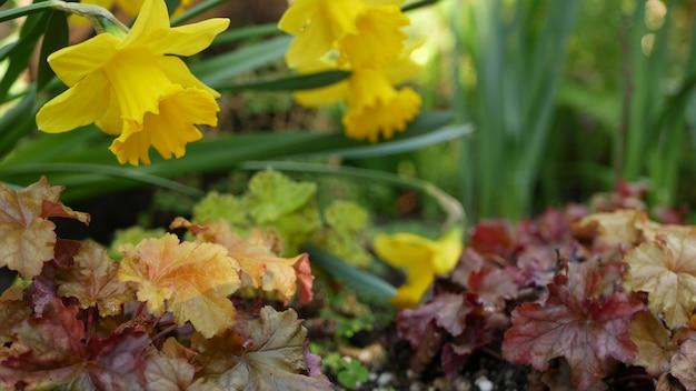 Fiore giallo del narciso, california u.s.a. fiore di narciso fiore primaverile, atmosfera forestale mattutina, delicato fiore floreale botanico. freschezza di primavera millefiori in legno.