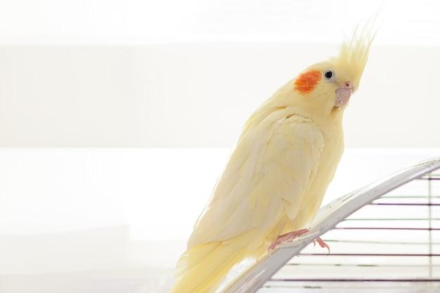 Pappagallo giallo del cockatiel della ninfa sull'uccello della gabbia a casa