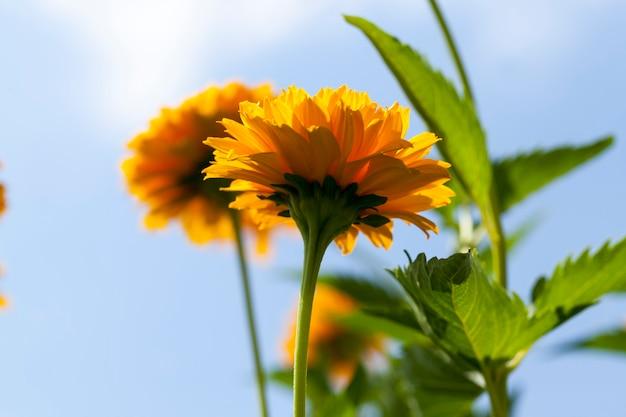 Fiori giallo-arancio in estate, piante da fiore decorative in giardino Foto Premium