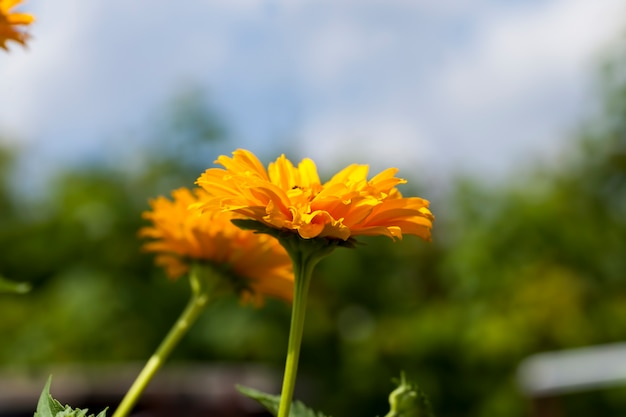 Fiori giallo-arancio in estate, piante da fiore decorative in giardino
