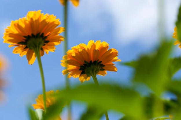 Fiori giallo-arancio in estate Foto Premium