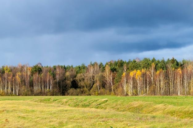 Fogliame giallo e arancione sulle betulle in autunno, betulle in autunno durante la caduta delle foglie