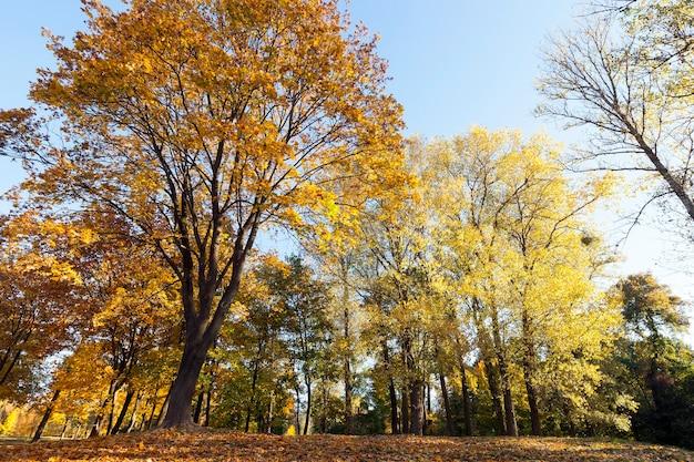 Foglie di acero giallo arancio e altri alberi decidui nel parco in autunno. primo piano della foto, vista dal basso