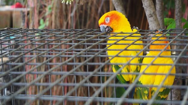 Pappagallo giallo ed arancione in una gabbia al parco pubblico. jandaya parakeet.