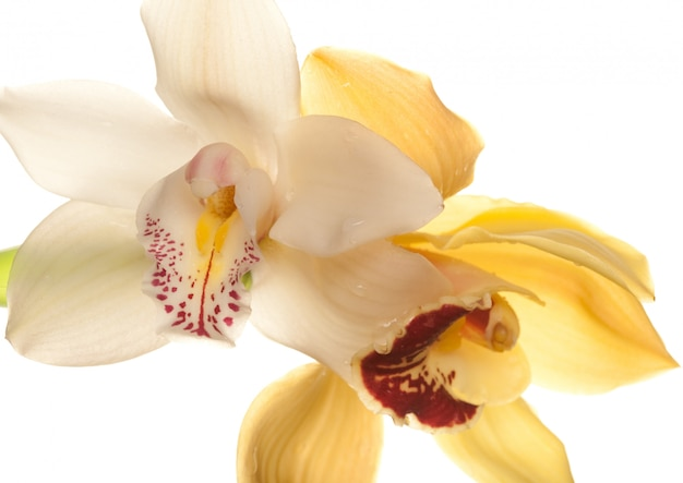 Primo piano giallo dell'orchidea