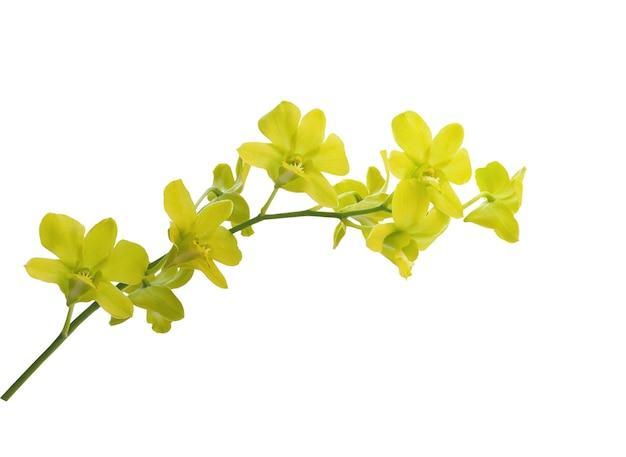 Fiori di orchidea gialli isolati su sfondo bianco con tracciato di ritaglio.