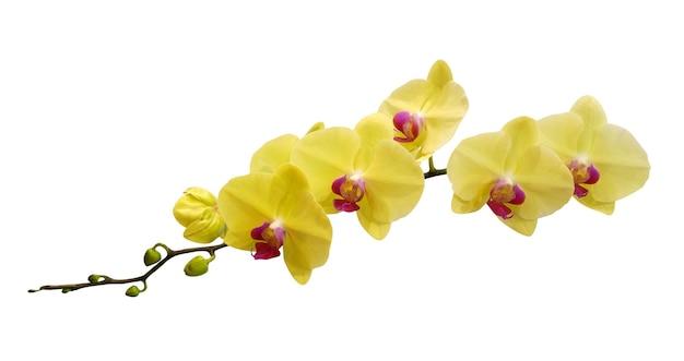 Fiori di orchidea gialli isolati su bianco