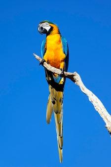 Pappagallo giallo sul cielo blu