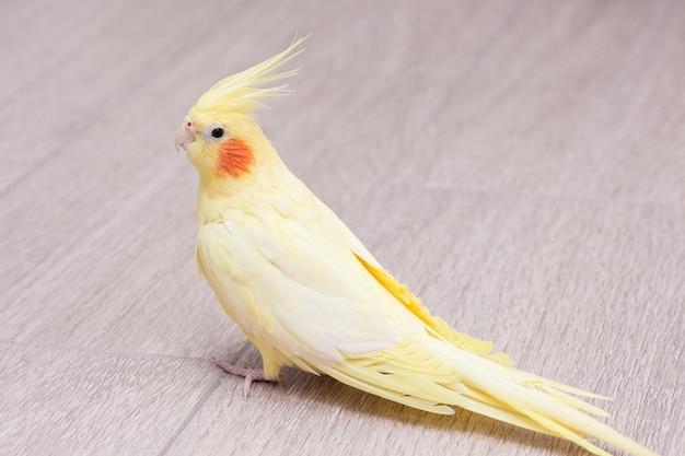 Il corella giallo del pappagallo è seduto sul pavimento.
