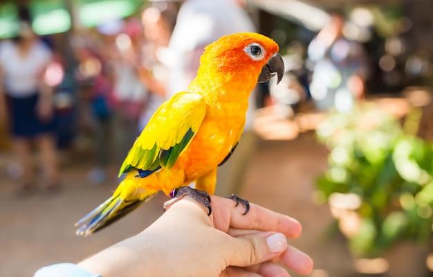 Pappagallo giallo, sun conure