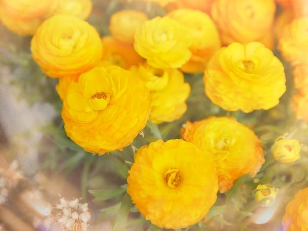 Ranuncoli persiani gialli in giardino, ranunculus asiaticus
