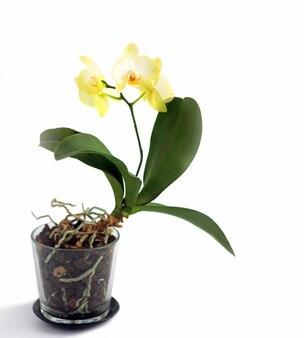 Orchidea phalaenopsis gialla in un vaso di vetro, isolato su sfondo bianco. spazio per il testo.