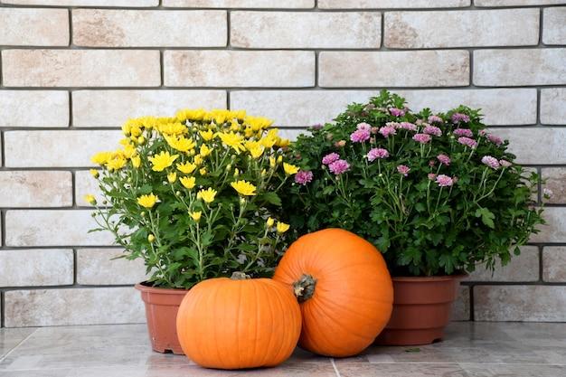 Crisantemi gialli e viola in vaso con zucche arancioni sulla parete del vecchio sfondo di mattoni. raccolto autunnale, concetto di giorno del ringraziamento.