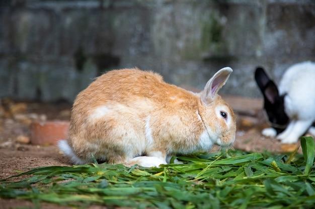 Coniglio giallo sull'erba sullo sfondo di altri conigli
