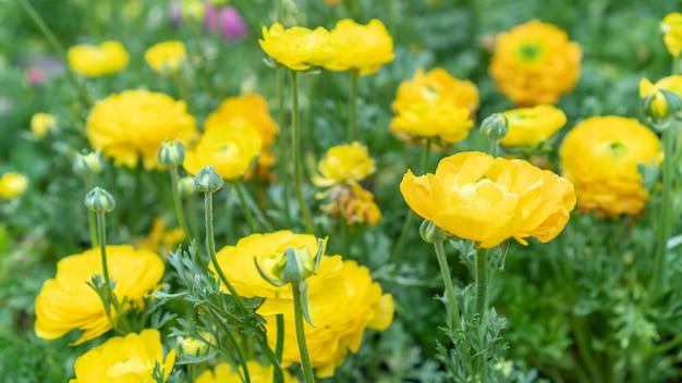 Fiore giallo del ranunculus in un giardino