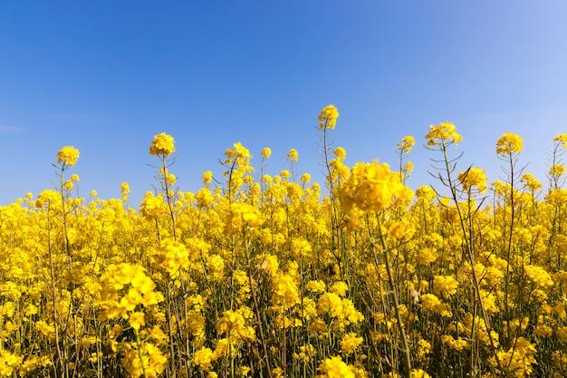 La colza gialla fiorisce nella stagione primaverile su un campo sotto un cielo blu