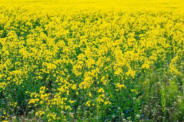 Campo di colza giallo, fiore di colza, primavera