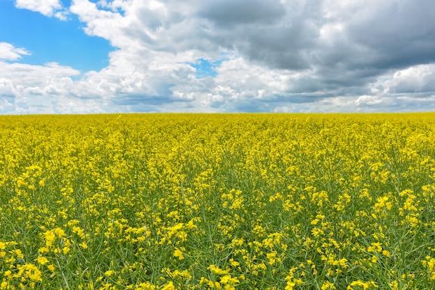 Campo di colza giallo, campo di colza giallo