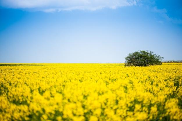 Fiori di colza gialli nel campo