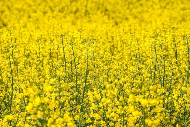 Campo di fiori di colza giallo