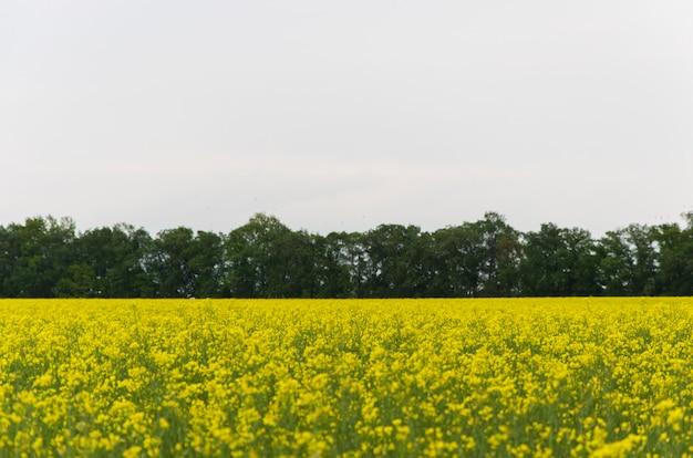 Fiori gialli del seme di ravizzone (lat. la brassica si ubriaca) contro un cielo blu