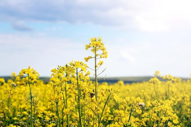 Fiori di colza gialli su un cielo di cielo, fiori di colza