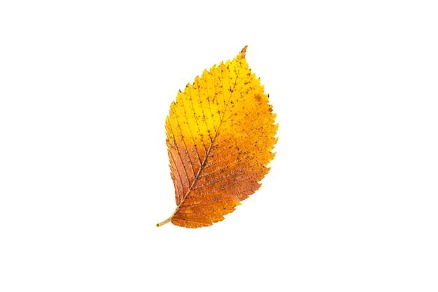 La foglia autunnale caduta giallo-rossa dell'olmo di ulmus su sfondo bianco è un isolato