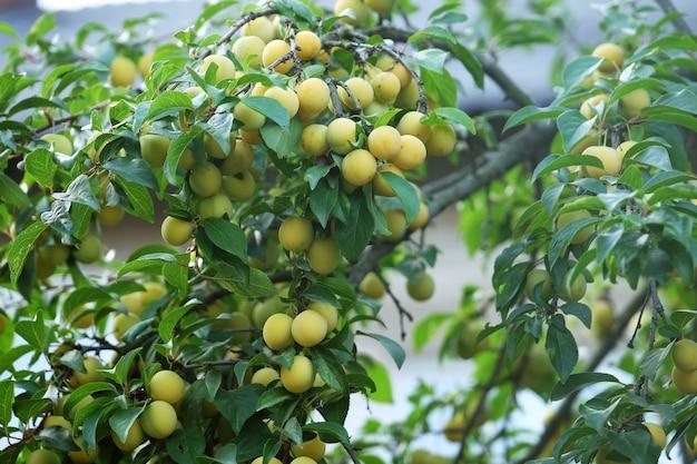 Prugne mature gialle sull'albero