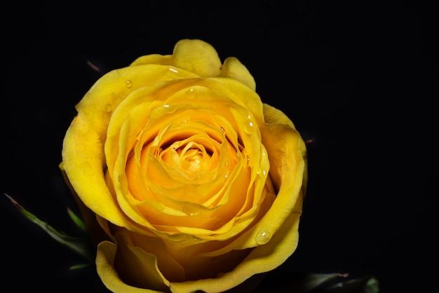 Rosa gialla su sfondo nero