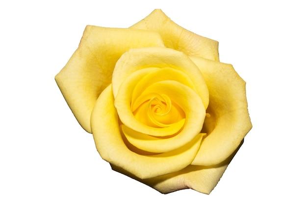 Bocciolo di rosa giallo isolato su sfondo bianco. vista dall'alto