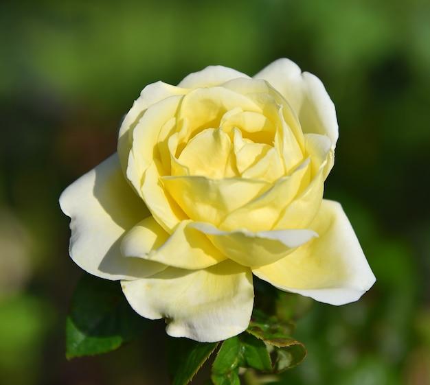 Fiore della rosa gialla fresco sullo sfondo della natura sfocata