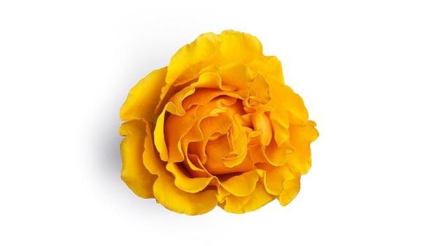 Fiore rosa giallo isolato su sfondo bianco. foto di alta qualità