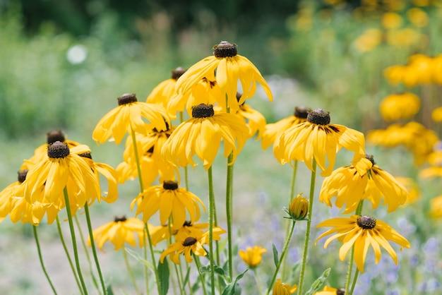 Fiori gialli di rudbeckia nel giardino in primo piano estivo